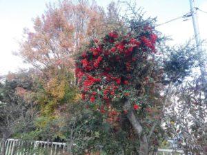 目にも鮮やかな赤い実が鈴なりです!