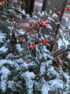 ヒイラギに雪!と思ったら南天でした(^^; それでもキレイ
