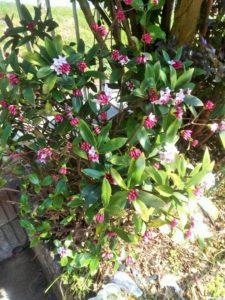 沈丁花は顔を寄せるとよい香りがします(^^)