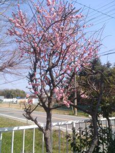 梅の花が満開です♪